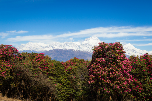 How to choose a trek in Nepal: Rhododendrons in Spring in Everest region, Nepal