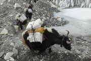 Yaks carrying provisions to Gorakshep near Everest Base Camp