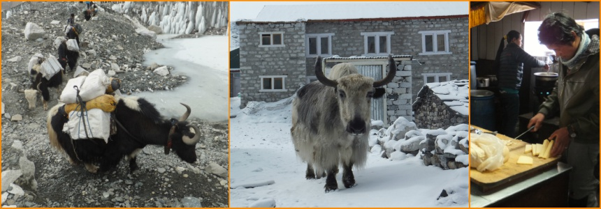 Yaks in the Everest region of the Himalaya and Nepalis preparing yak cheese