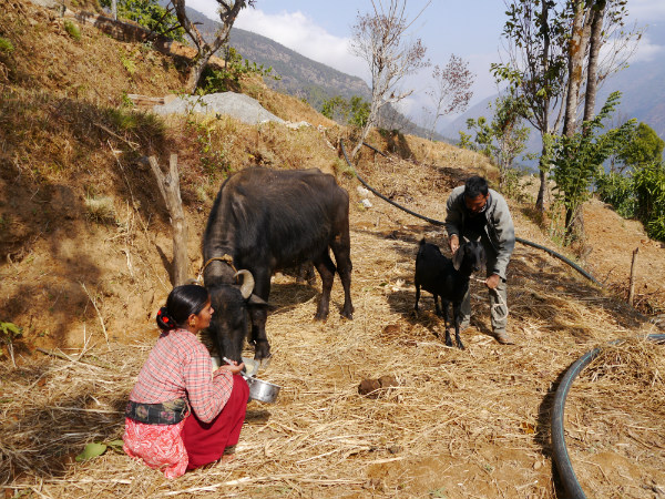 Krishna and Parbati tend their animals, village life in Nepal