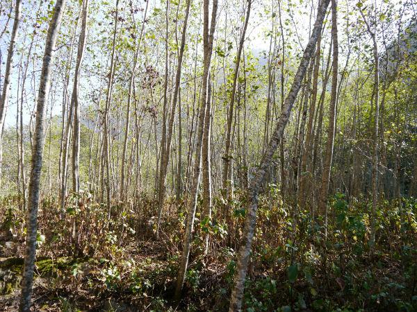 Eldesh trees - these trees grow on landslide sites