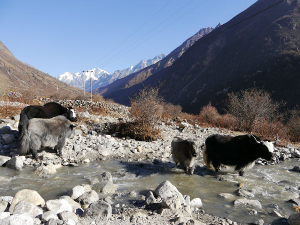 Yaks in Langtang Valley