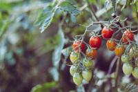 Professional Trekking Guide Buddhi has a tomato farm