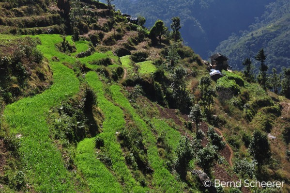 15 reasons to trek in Nepal - Green terraced fields for farming crops