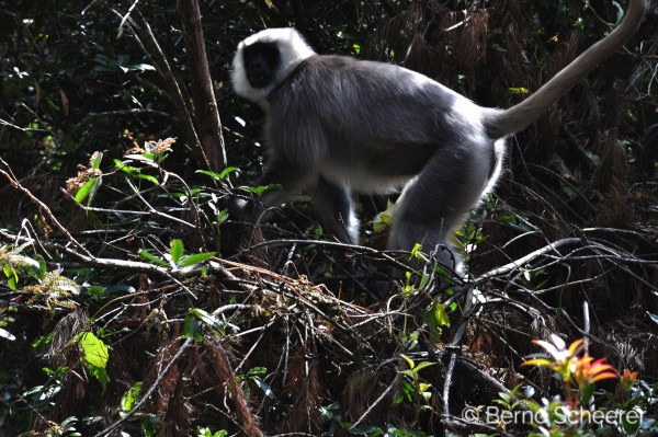 15 reasons to trek in Nepal - Grey Langur monkey