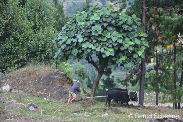 15 reasons to trek in Nepal - Ploughing the fields with buffalo