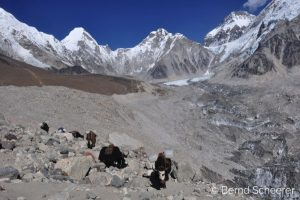 15 reasons to trek in Nepal - Yaks in the high mountains