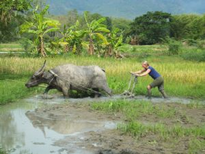 Anna from Team Nepalorama ploughing a field with a buffalo